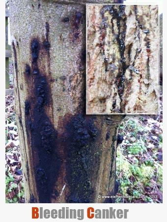 Fantastic Phytophthora – Bleeding Canker - Element Tree Care DC13