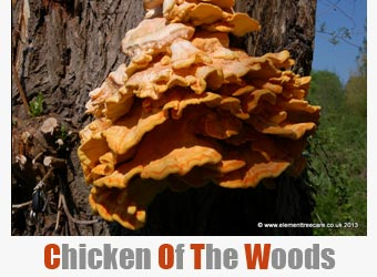 tree fungus - chicken of the woods
