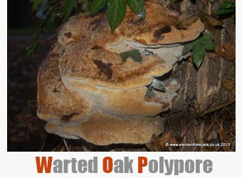 tree diseases - warted oak polypore